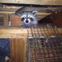 Raccoon removal services for Edmond, OK