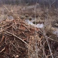 Removal of a beaver dam