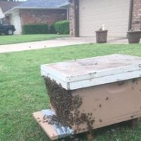 Successful honey bee removal
