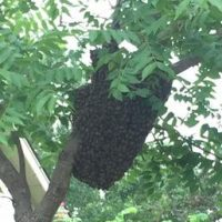 Removing a honey bee swarm